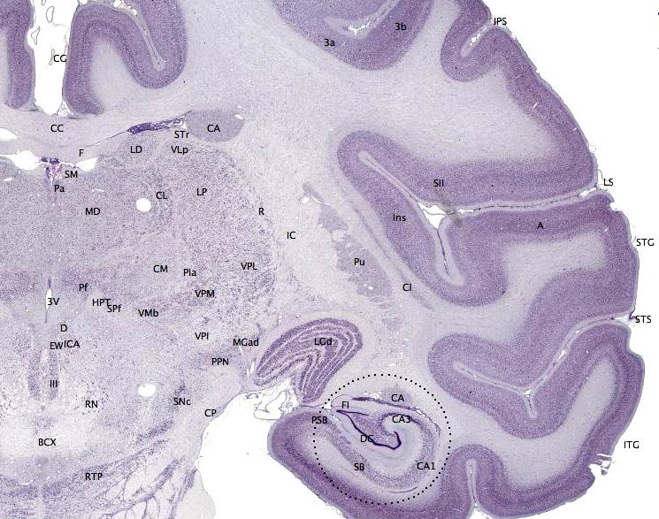 Image: Brainmaps.org