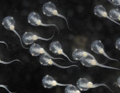 Xenopus tadpoles (Photo: David Freiheit)