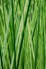 Pediatric research- grass