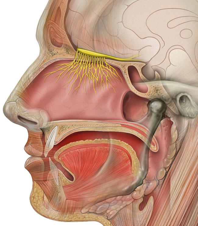Illustration: Patrick J. Lynch, medical illustrator; C. Carl Jaffe, MD, cardiologist.