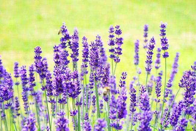 _Lavender